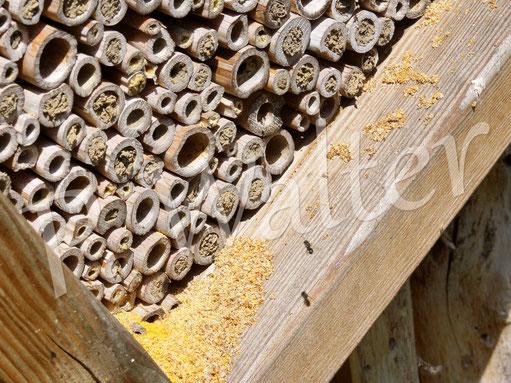 21.06.2017 : die Löcherbienen säubern wie wild alte (und wahrscheinlich auch von Kolleginnen neu angelegte) Bambusstengel ...