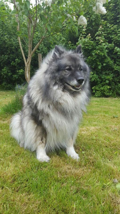 Wolfsspitz Hündin BONNY-BIJOU von der Roemerroute