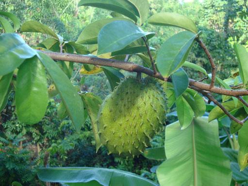Guanabanafrucht im Abendlicht