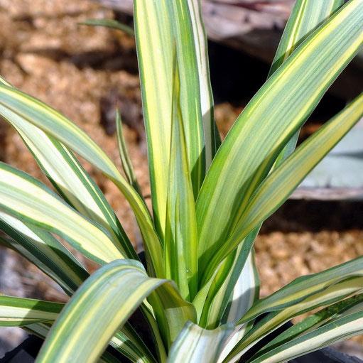 Yucca recurvifolia Hinvargas (Margaritaville)