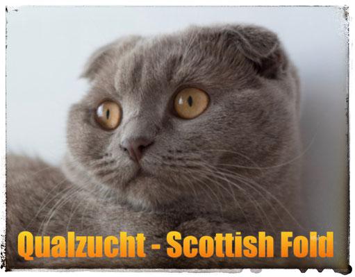 Qualzucht: Scottish Fold und andere Faltohrkatzen