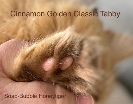 BLH, cinnamon tabby, Foto: Paula Brunner