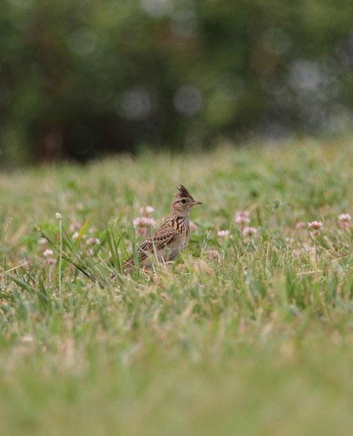 6月9日(2013) 野にたたずむヒバリ(雲雀):三鷹市在住の武田さんからのご投稿写真