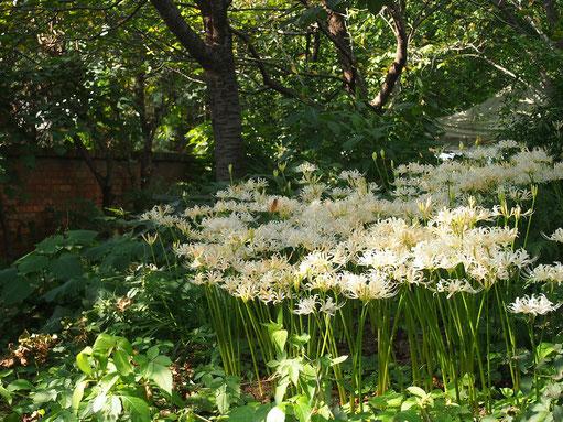 9月14日(2017) 白花曼珠沙華:秋のお彼岸が近づくと急に茎が伸びてきて花が咲きます。別名は彼岸花、天上の花という意味もあるとのこと。赤が多いですが白を見つけました。京王フローラルガーデンにて。
