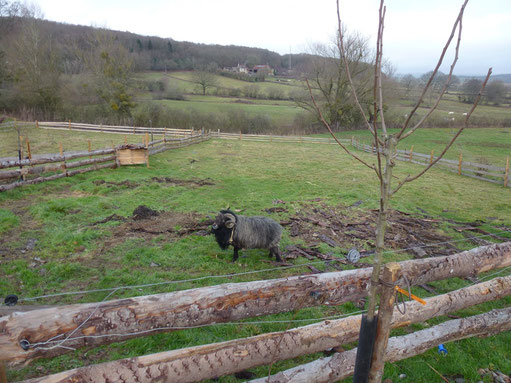 Poirier avec Orion notre mouton ouessant