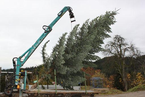 Verkauf Weihnachtsbäume, Christbäume, Tannenbäume vom Schwarzwaldhof Hölzleberg, Josef Gmeiner in Durbach - https://www.hoelzleberg.de