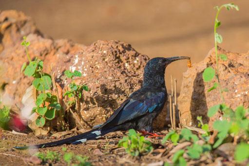 Irisor moqueur, oiseau, Sénégal, Afrique, safari, stage photo animalière, Jean-Michel Lecat, photo non libre de droits