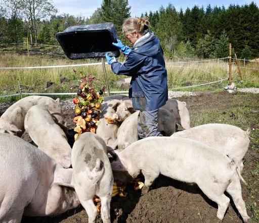 Her besøker jeg min venninne Lotte på Nesodden, som mater grisene sine med utgåtte grønnsaker og bakervarer - men kaffe latte får de ikke.