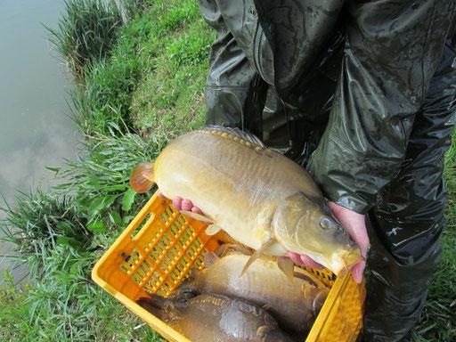 Besatzkarpfen á 5 - 8kg