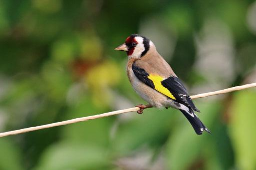 Der Stieglitz - Vogel des Jahres 2016  -  Foto: NABU/Frank Derer