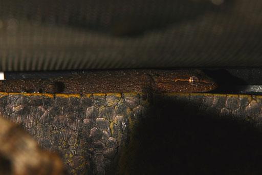 Jungferngeckos -Lepidodactylus lugubris- setzt man eigentlich zu Fröschen hinzu, um übrige Drosophila zu vertilgen. Bei den E. mysteriosus muß er/sie sich schon anstrengen und tagsüber jagen, um nicht das Nachsehen zu haben.