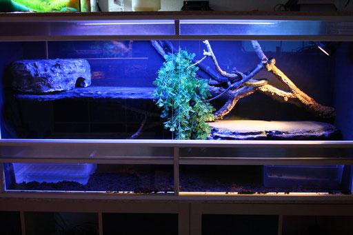 Endlich umgezogen. So kann man sich auch mal ganz ausstrecken. Das vorige Terrarium dient jetzt als Aufzuchtterrarium für den Kornnatternachwuchs