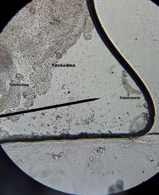 Rechts neben der Nadel sieht man einen Hautwurm. Etwas schlechter zu sehen sind die Trichodina (Hauttrüber)