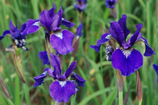 Iris sibirica 'Niklassee'