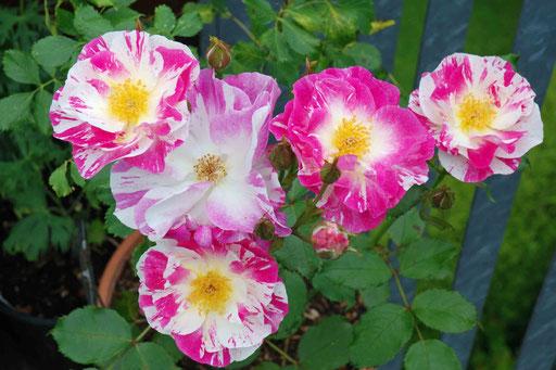 Delbard-Rose 'Sorbet Framboise'