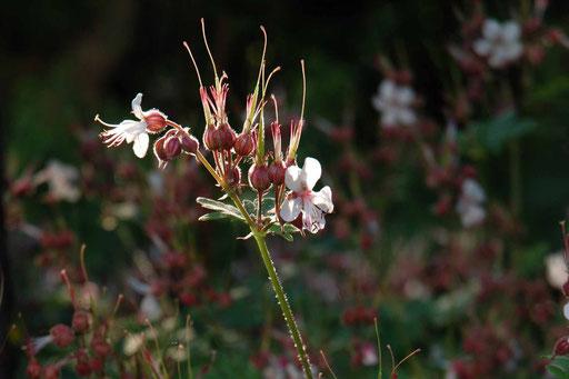 Geranium macrorrhizum 'Spessart' im Gegenlicht
