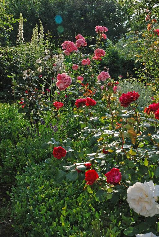 Das Rosenbeet in voller Blüte