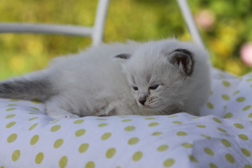 seal-silver-tabby-point white, 3 Wochen