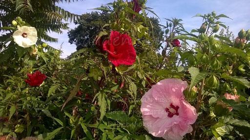 Staudenhibiskus-Gärtnerei Bartels, Delmenhorst, Hibiscus x moscheutos, Sumpfeibisch-Riesen-Blüten, Stauden-Hibiskus+kaufen