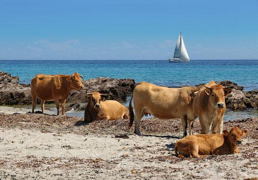 Jährlich all die Rindviecher am Strand, Foto: Helmut Meier
