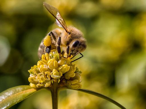 Bild 02: Fleißiges Bienchen, Foto Elke Englmaier