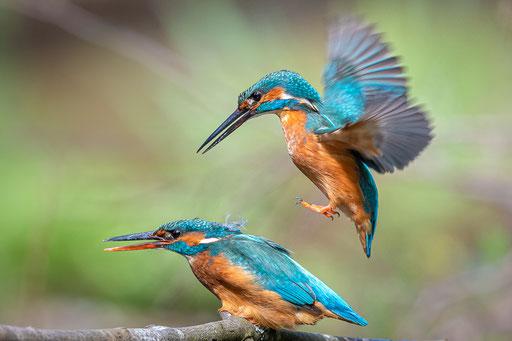 Anflug zur Paarung, Foto: Günther Klein