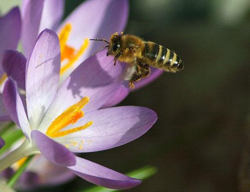 """""""Biene im Anflug"""" (Foto: Reinhold Buchner)"""