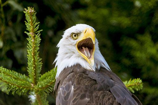 Weißkopfseeadler, Foto: Bernhard Lang