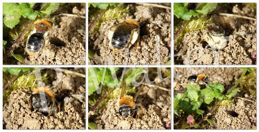 Bild: Rotbürstige Sandbiene, Andrena haemorrhoa, Weibchen beim Polleneintrag in ihren Nistgang im Boden