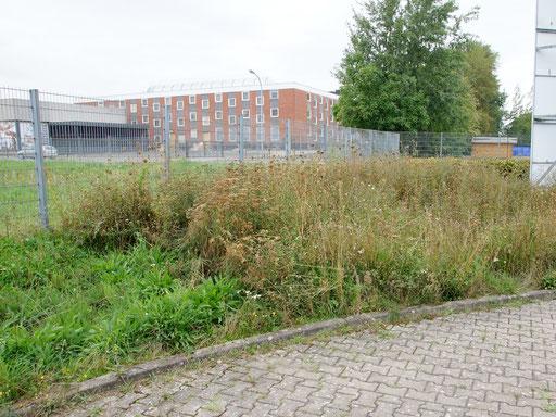 03.09.2019 : die linke Ecke - schon kräftig nachgewachsen - wurde vor vier Wochen gesenst // der restliche Bereich wurde bis auf zwei Meter am Zaun entlang heute auch noch mit der Sense entnommen // mal sehen, was uns im Oktober (wieder) blüht ...