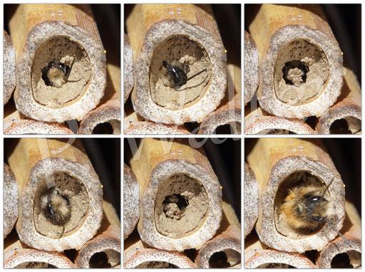 Bild: Männchen, Rostrote Mauerbiene, Osmia bicornis, Schlupf aus dem Nistgang, Bambusstengel