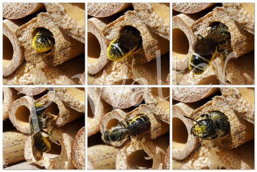 Bild: Hahnenfuß-Scherenbiene, Osmia florisomnis,  Nistkammer, Pollenvorrat
