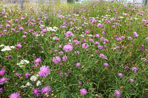 02.07.2020 : ganz anders bei der Blumenwiesenmischung 100%Kräuter, hier prägen Flockenblumen und Schafgarbe die Wiese