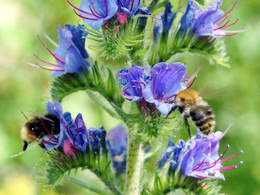 Interesse an Wildbienen ? Mit einem Klick geht´s zu den wichtigsten Arten in einem Bückeburger Garten ...
