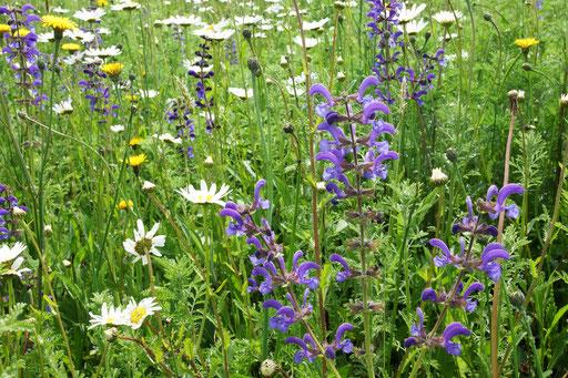 29.05.2019 : aktuell sticht besonders der Wiesen-Salbei mit seiner Blüte heraus