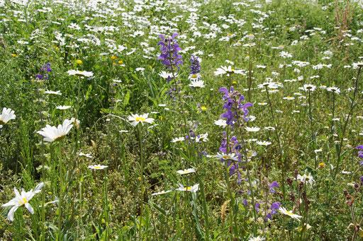28.05.2020 : vor allem Wiesen-Margeriten, aber auch der Wiesen-Salbei (aus der Verkehrsinselmischung) blüht gerade