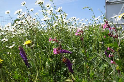 28.05.2020 : ein Eindruck der Blumenwiese im Bereich der Blumenwiesenmischung von Rieger Hofmann