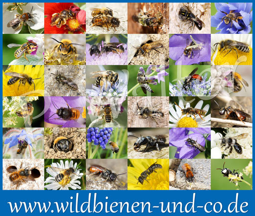 Wildbienen in einem Bückeburger Garten, Peter Walter