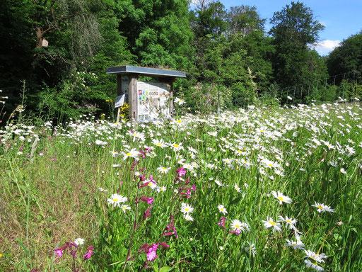 31.05.2020 : unsere kleine Blumenwiese am Eingang zur Streuobstwiese