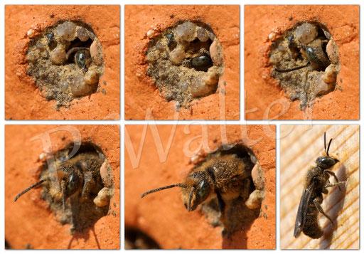 """Bild: Glockenblumen-Scherenbiene, Osmia rapunculi, Männchen """"schlüpft"""" aus seinem Nistgang"""