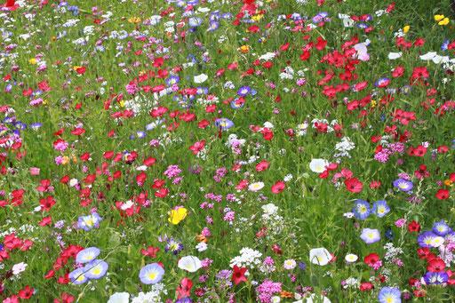 Eine Wohltat für die Augen - eine gedeckte Tafel für Insekten - Wildblumenwiese am Bodensee; Saatgutmischung  (G. Franke)