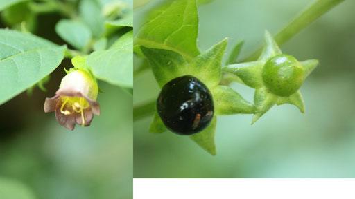Echte Tollkirsche, Atropa bella-donna - Blüte und Früchte, im Nordschwarzwald