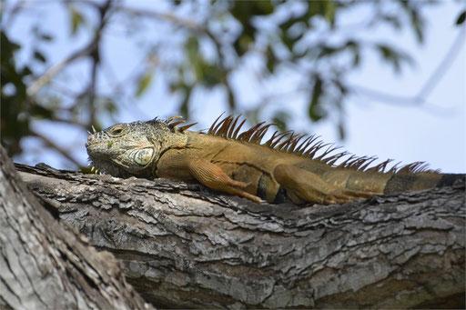 Iguanas leben auch hier im Garten
