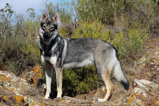 Duna Lobos de Bilsaru (Utukku z Peronowki x Evon Wolf Rhoderick Sodar)