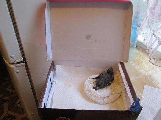 Стрижонок Птерик, выкормленный с двухдневного возраста