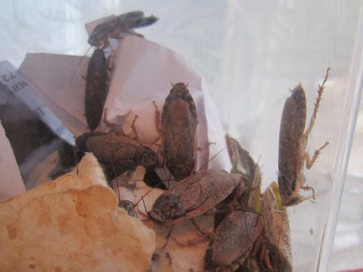 Мраморный таракан (Nauphoeta cinerea)