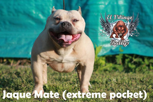 JAQUE MATE - MACHO 2 AÑOS  - UKC ABKC