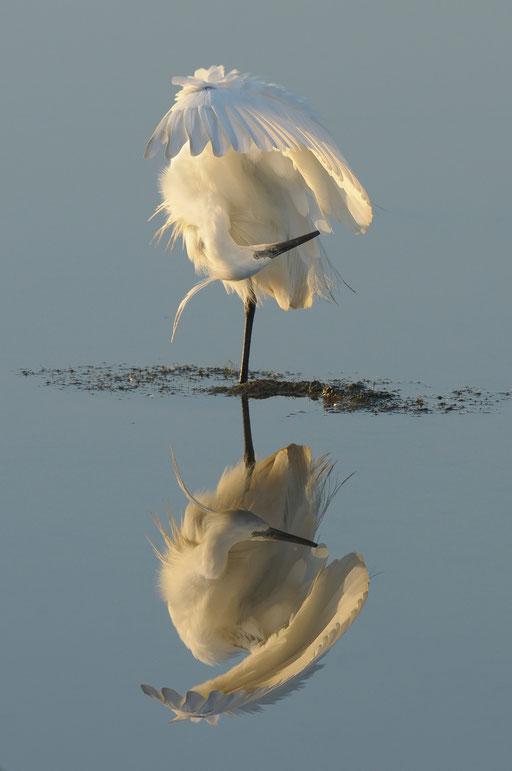 """Miroir mon beau miroir ! Cette image est lauréate du prix du public au festival de la Baie de Somme en Février 2011 et depuis le 15 Août 2013 au concours photos de """" terre d'oiseaux """" en Gironde"""