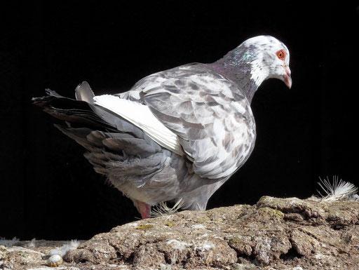 Un pigeon mâle