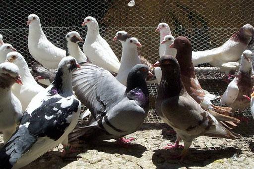 Pigeons Reproducteurs croisement chair base Hubbell